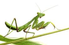 Mantis On White