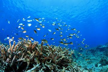 Fototapeta na wymiar Korallenriff mit Riffbarschen