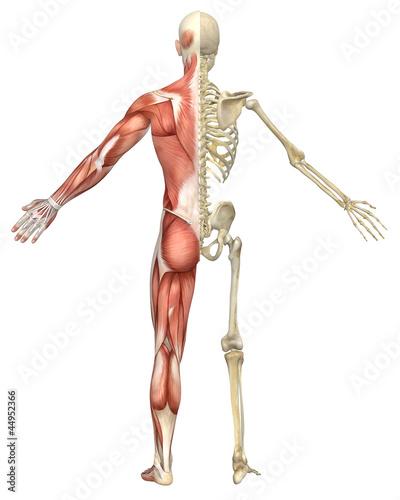 Fotografie, Tablou  Male Muscular Skeleton Split Rear View