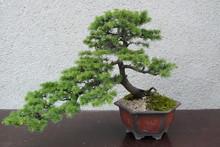 A Mature Tree In Miniature Gro...