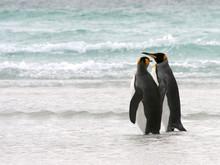 King Penguin Couple Take A Walk On The Beach