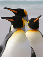 Group Of Three King Penguins, ...