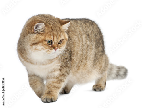 Golden shaded British shorthair, 7 months old - Buy this stock photo