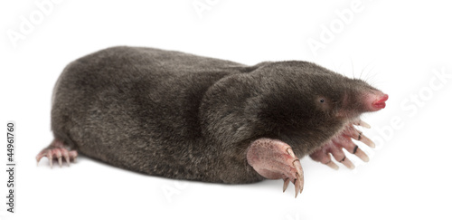 Obraz na plátně European Mole, Talpa europaea