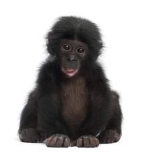 Baby Bonobo, Pan Paniscus, 4 Months Old