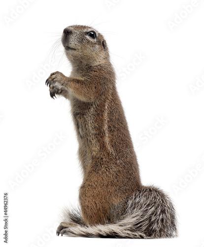 Fotomural  Cape Ground Squirrel, Xerus inauris
