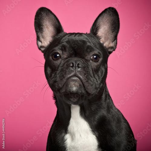 Tuinposter Franse bulldog French Bulldog puppy, 6 months old