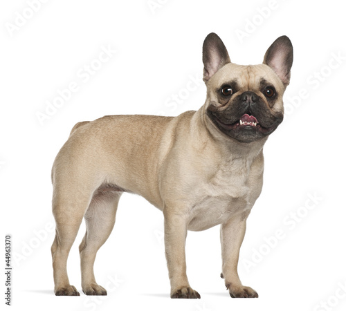 Deurstickers Franse bulldog French Bulldog, 2 years old, standing against white background