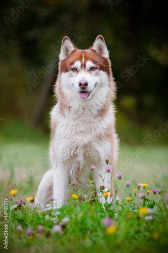 Photo siberian husky portrait