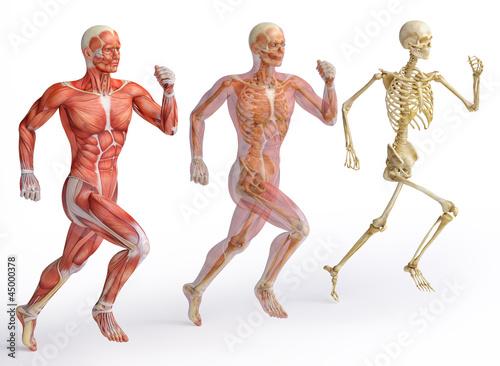 Fotografia anatomy, muscles
