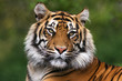Portrait of a bengal tiger