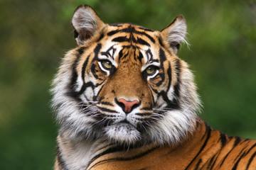 Portrait of a bengal tiger