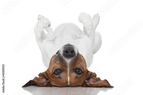 dog  laying upside down Canvas Print