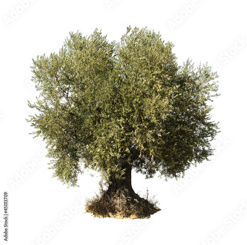 Foto op Aluminium Olijfboom Olive tree white isolated