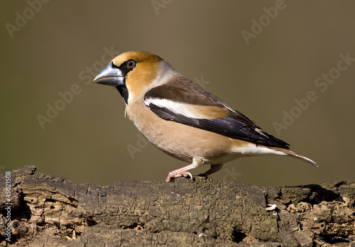 Fototapeta Hawfinch bird