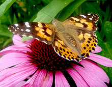 Painted Lady Butterfly On Purple Cone Flower