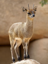 Klipspringer  (Oreotragus Oreo...