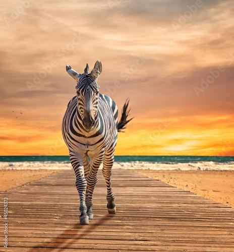 Poster Zebra Zebra Walking On Wooden Plank