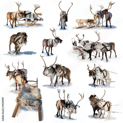 Poster Scandinavie Northern deer on snow