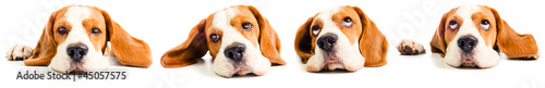 Fotografia beagle head