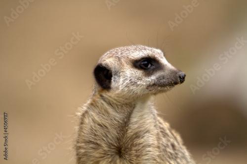 Photo  suricato o suricata suricatta
