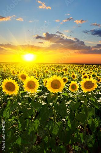 Fototapeta sunflowers obraz na płótnie