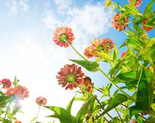 Flowers Over Blue Sky. Zinnia Flower. Autumn Flowers