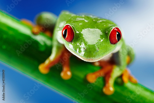 Tuinposter Kikker Green Frog with red eye.