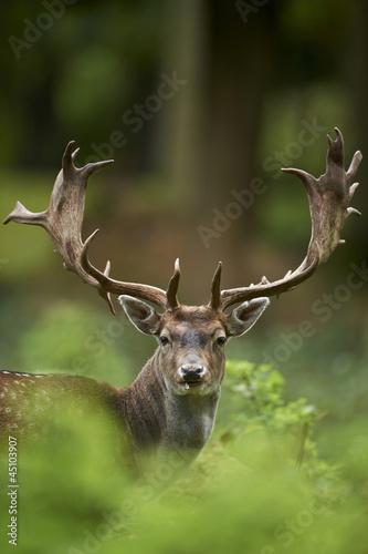 Photo head shot of a fallow deer stag (dama dama)