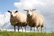 Two Sheep In The Grass