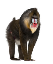 Mandrill, Mandrillus Sphinx, 22 Years Old