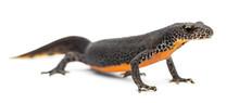 Alpine Newt, Ichthyosaura Alpestris, Formerly Triturus Alpestris