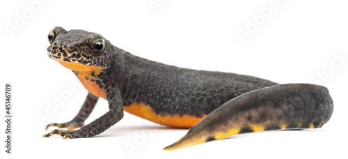 Fotografie, Obraz Alpine Newt, Ichthyosaura alpestris