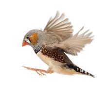 Zebra Finch Flying, Taeniopygi...