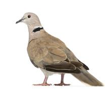 Eurasian Collared Dove, Streptopelia Decaocto