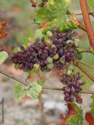 Fotografie, Obraz  Botrytised Chenin grape, Savenniere, France