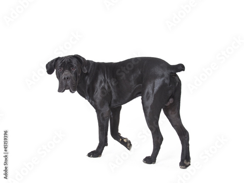 Printed kitchen splashbacks Panther Cane Corso