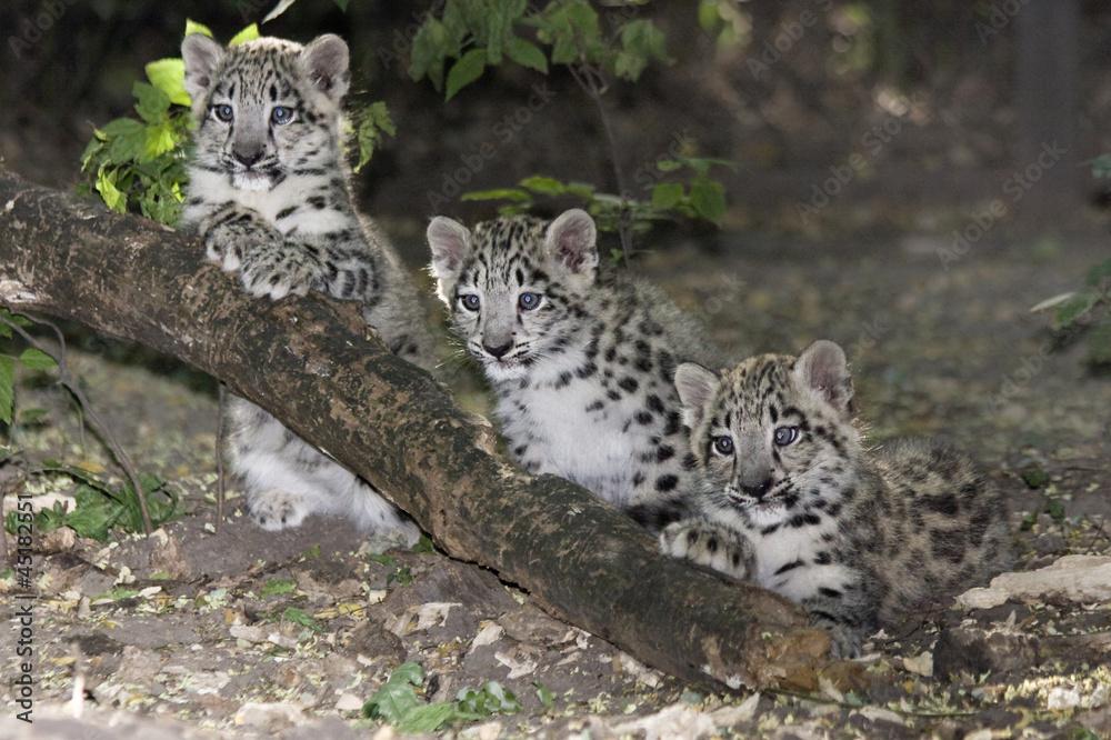 Snow leopard (Uncia uncia) cubs