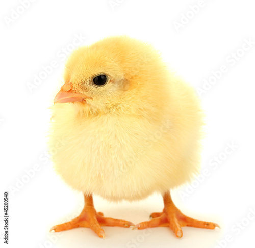 Fotomural beautiful little chicken isolated on the white