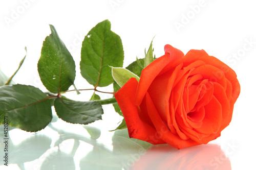 orange rose isolated on white © Africa Studio