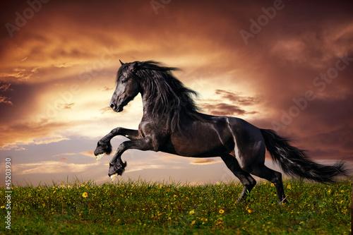 Fototapeta Black Friesian horse gallop obraz