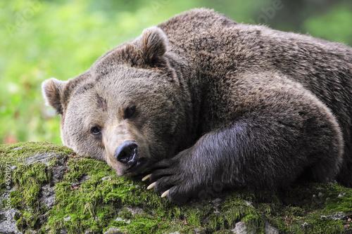 Photo Fauler Bär