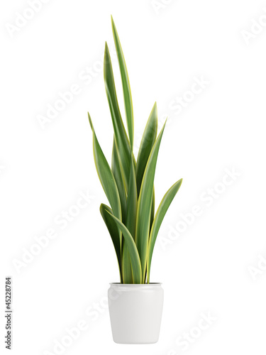 Photo  Sansevieria growing in a pot