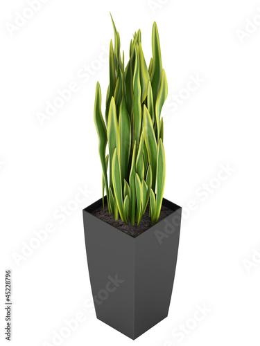 Photo  Sansevieria trifasciata, the snake plant