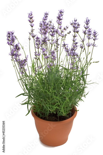 Lavender in a Pot - 45235364