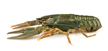 Crawfish Alive One