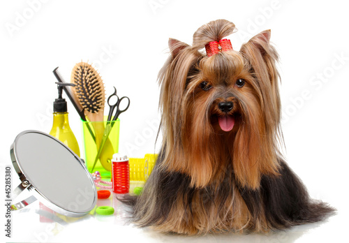 Obraz na plátně Beautiful yorkshire terrier with grooming items isolated