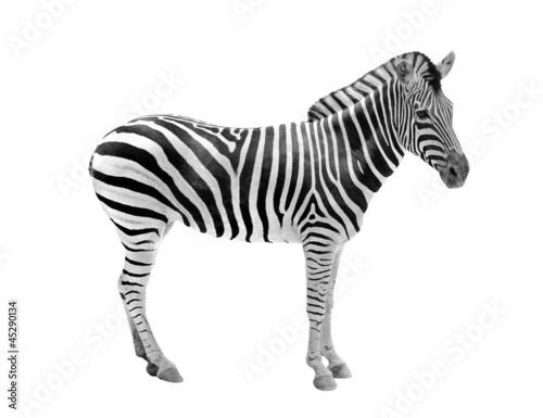 Spoed Foto op Canvas Zebra African wild animal zebra showing beautiful black & white stripe