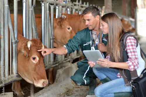 Carta da parati Farmer and veterinarian checking on cows