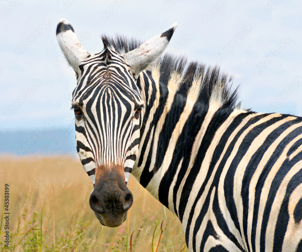 Fototapety, obrazy: Closeup on zebra's head looking curiously
